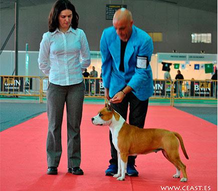 american-staffordshire-stanfford-terrier-pernales-mel-de-romer