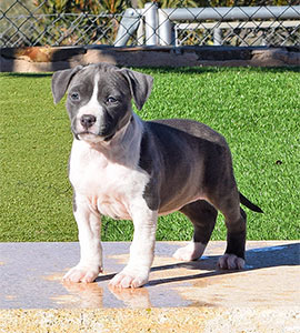 american-staffordshire-terrier-BLUE-cachorros-pernales-perros-show