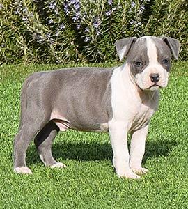 american-staffordshire-terrier-amstaff-pernales-criadores-perros-raza-stanfford-blue-cachorros-comprar.criadero
