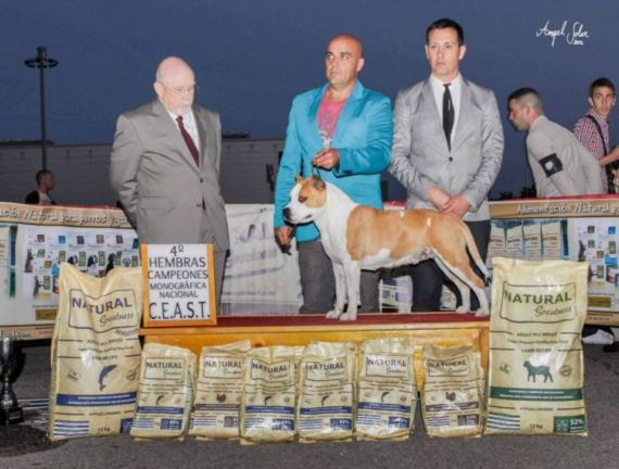 american-staffordshire-terrier-bhuda-perros-pernales-criadero