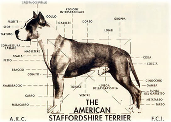 American Staffordshire Terrier Caracteristicas Standard Raza Amstaff Perfil Perro