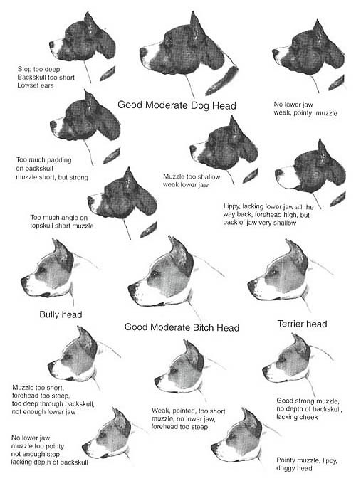 American Staffordshire Terrier Caracteristicas Standard Raza Amstaff Perfil Cabeza