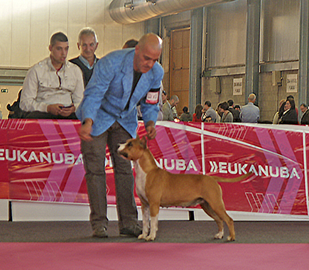 american staffordshire terrier ch pernales red bead criadero amstaff alicante perros terrier