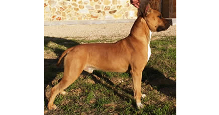American Staffordshire Terrier | CH. JR. Pernales Dobby | Macho Amstaff Pernales Criadores Cachorros perros Amstaff