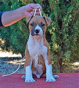 american-staffordshire-terrier-pernales-amstaff-criadores-perros-stanfford-cachorros.-alicante-macho-brujo