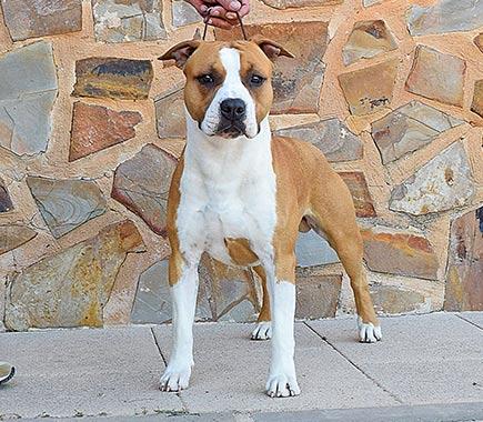 american-staffordshire-terrier-pernales-amstaff-stanfford-perros-de-raza