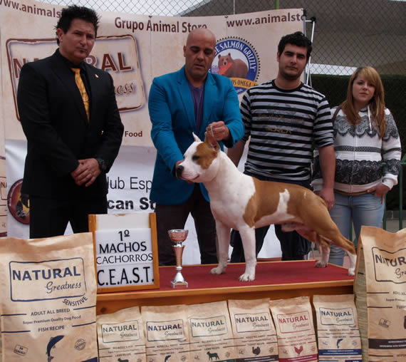 american staffordshire terrier pernales white widow alicante pernales amstaff
