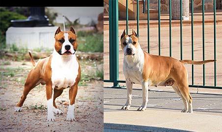 american-staffordshire-terrier-pernales-cachorros-comprar-perros-raza-amstaff-alicante.macho