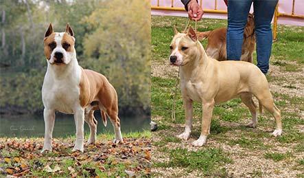 american-staffordshire-terrier-pernales-cachorros-comprar-perros-raza-amstaff-alicante