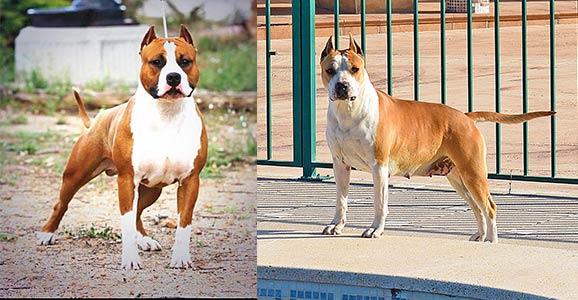 american-staffordshire-terrier-pernales-cachorros-raza-amstaff-stanfford-comprar-criadores-criadero-alicante