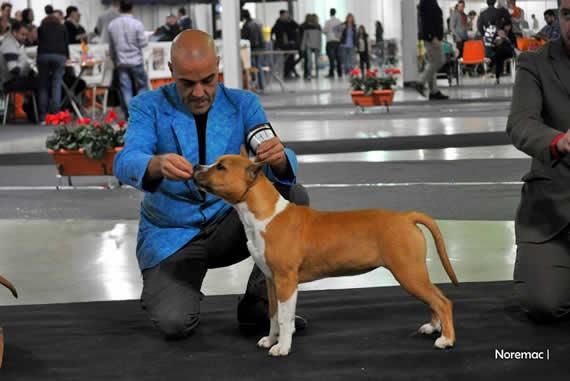 american staffordshire terrier pernales criadero perros venta alicante