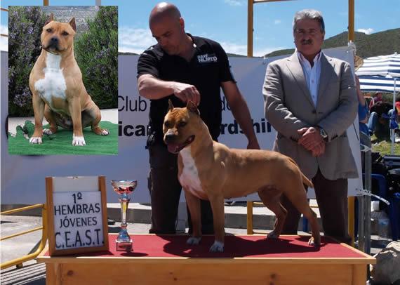 american staffordshire terrier pernales criadero perros venta alicante amstaff simba