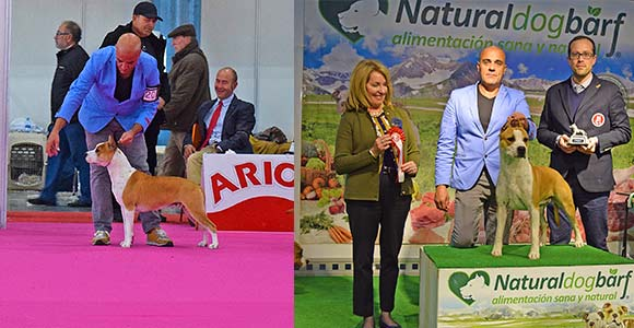 american-staffordshire-terrier-pernales-criador-amstaff-perros-show.-vaiana.-BIAR