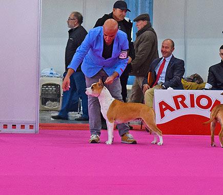 american-staffordshire-terrier-pernales-criador-amstaff-perros-show.-vaiana
