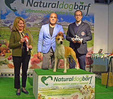 american-staffordshire-terrier-pernales-criador-amstaff-perros-show