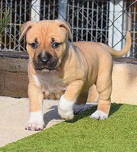 american-staffordshire-terrier-pernales-criadores-amstaff-perros-cachorros-alicante-stanfford.comprar