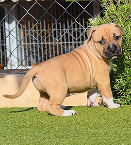 american-staffordshire-terrier-pernales-criadores-amstaff-perros-cachorros-alicante-stanfford.comprar.pernales