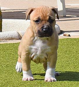 american-staffordshire-terrier-pernales-criadores-amstaff-perros-cachorros-alicante-stanfford