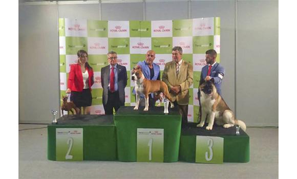 american staffordshire terrier pernales criadores perros amsataff