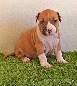 american-staffordshire-terrier-pernales-criadores-perros-amstaff-stanfford-comprar-criador-hembra-cachorros-show-alicante.blanca-valencia.biar.www
