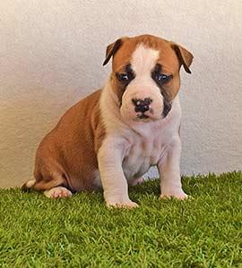 american-staffordshire-terrier-pernales-criadores-perros-amstaff-stanfford-comprar-criador-hembra-cachorros-show-alicante.blanca-valencia