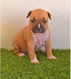american-staffordshire-terrier-pernales-criadores-perros-amstaff-stanfford-comprar-criador-hembra-cachorros-show-alicante.blanca