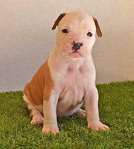 american-staffordshire-terrier-pernales-criadores-perros-amstaff-stanfford-comprar-criador-hembra-cachorros-show-alicante.blanca.marron-blue