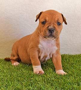 american-staffordshire-terrier-pernales-criadores-perros-amstaff-stanfford-comprar-criador-hembra-cachorros-show-alicante