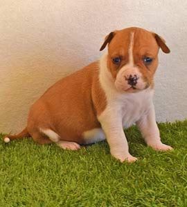 american-staffordshire-terrier-pernales-criadores-perros-amstaff-stanfford-comprar-criador-hembra-cachorros-show