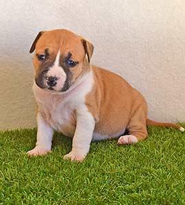 american-staffordshire-terrier-pernales-criadores-perros-amstaff-stanfford-comprar-criador-hembra-cachorros