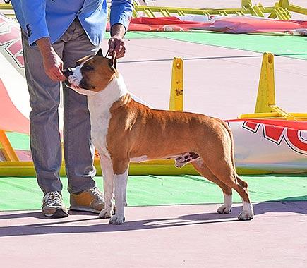 american-staffordshire-terrier-pernales-def-con-dos-amstaff-criadores-perros-raza-montas