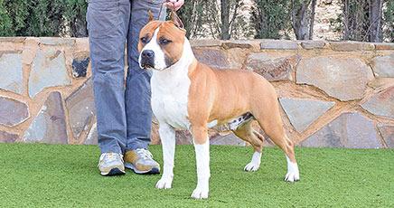 american-staffordshire-terrier-pernales-def-con-dos-amstaff-perro.nm