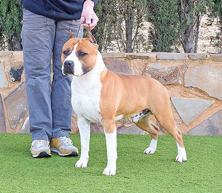 american-staffordshire-terrier-pernales-def-con-dos-amstaff-perro.show