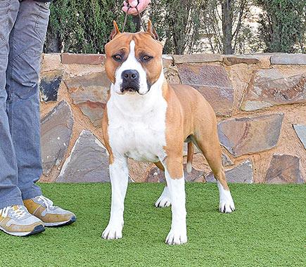american-staffordshire-terrier-pernales-def-con-dos-amstaff-perro.stanfford