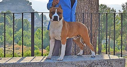 american-staffordshire-terrier-pernales-def-con-dos-amstaff-perros-criadores-stanfford-biar-alicante-amstaff