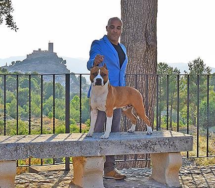 american-staffordshire-terrier-pernales-def-con-dos-amstaff-perros-criadores-stanfford-biar