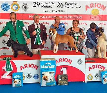 american-staffordshire-terrier-pernales-def-con-dos-amstaff-perros-criadores-stanfford