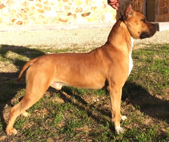 American Staffordshire Terrier Pernales Dobby | Criador Perros Raza AMSTAFF