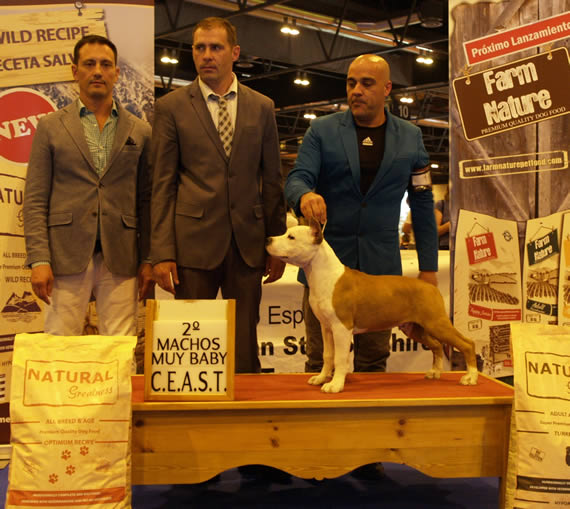 american-staffordshire-terrier-pernales-everest-perros-amstaff-pernales-criadero-perros-raza-alicante-.jpg