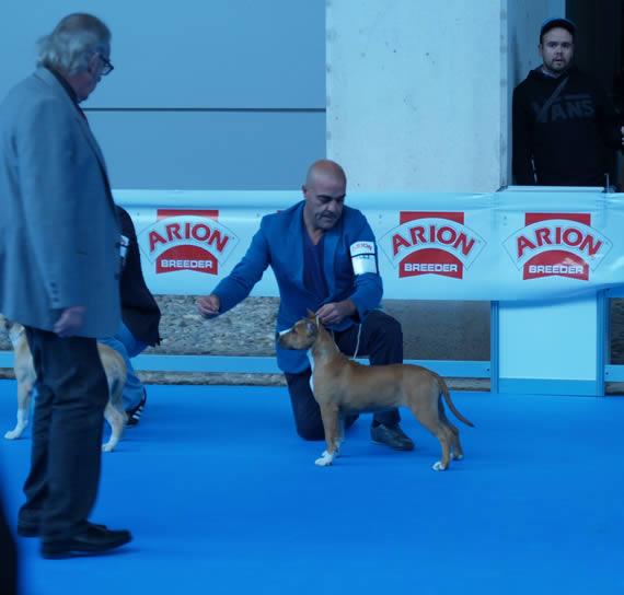 american staffordshire terrier pernales katrina pernales cachorros alicante valencia