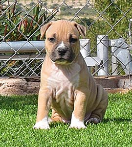 american-staffordshire-terrier-pernales-perros-cachorro-amstaff--criadores-MACHO-stanfford