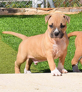 american-staffordshire-terrier-pernales-perros-cachorro-amstaff