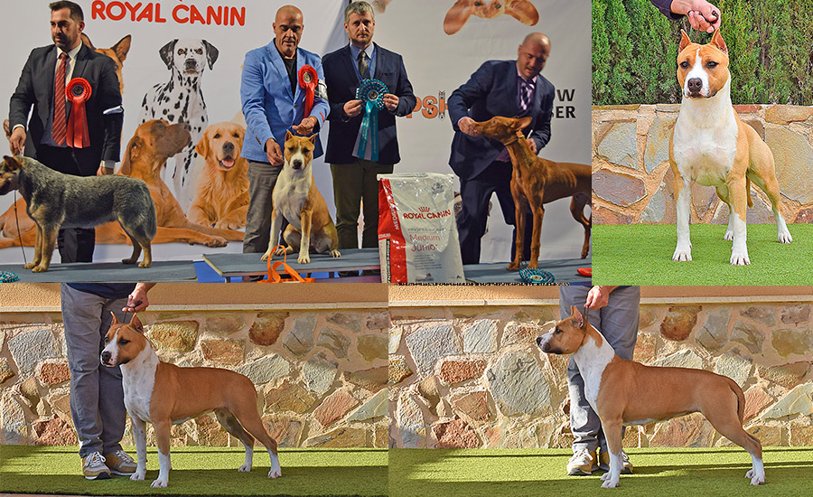american-staffordshire-terrier-pernales-perros-cachorros-comprar-raza--stanfford-amstaff-hembra-adulta-show