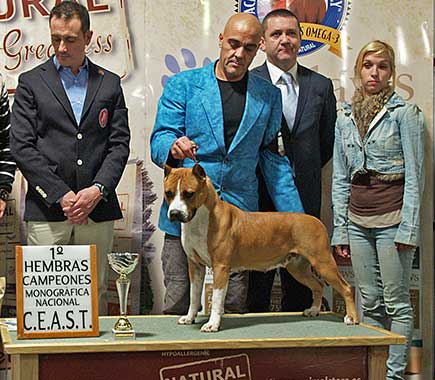 american-staffordshire-terrier-pernales-red-bead-criadero-perros-alicante