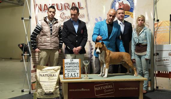 american staffordshire terrier pernales red bead criadero perros venta alicante amstaff