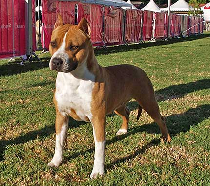 american-staffordshire-terrier-pernales-red-bead-criadero-perros