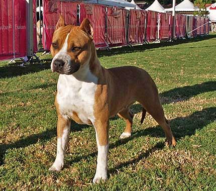 american-staffordshire-terrier-pernales-red-bead-criadero-perros