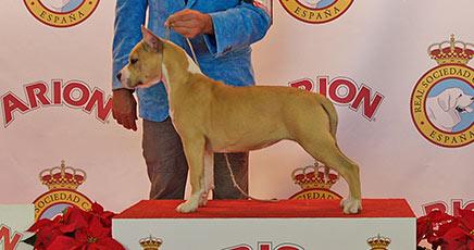 american-staffordshire-terrier-pernales-sand-cloud-criadero-amstaff-alicante-perros-terrier-.