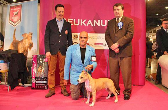 american-staffordshire-terrier-pernales-sand-cloud-criadero-amstaff-alicante-perros-terrier.