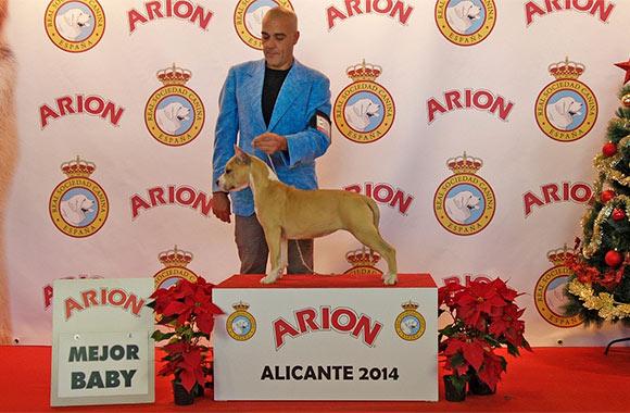 american-staffordshire-terrier-pernales-sand-cloud-criadero-amstaff-alicante-perros-terrier